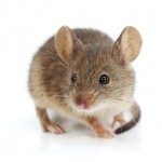mouse in essex county with esse county pest control exterminator