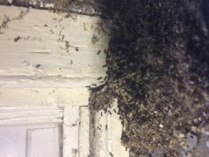 termite infestation signs, essex county pest control, numerous termites invading a home