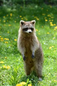 racoon in essex county
